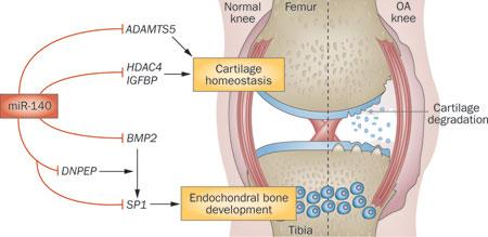 obat herbal memperbaiki fungsi cartilage