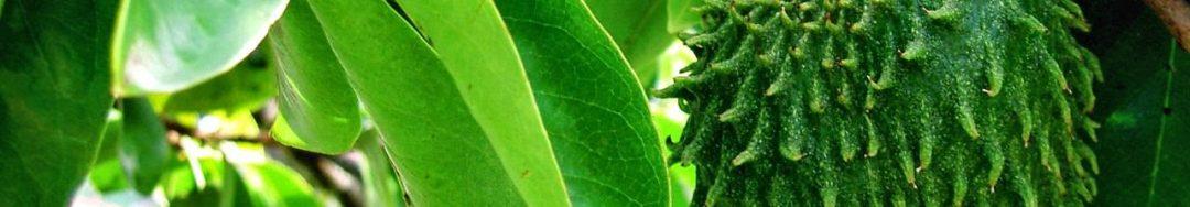 jual daun sirsak herbal indo utama murah surabaya