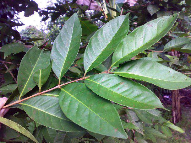 tanaman daun salam