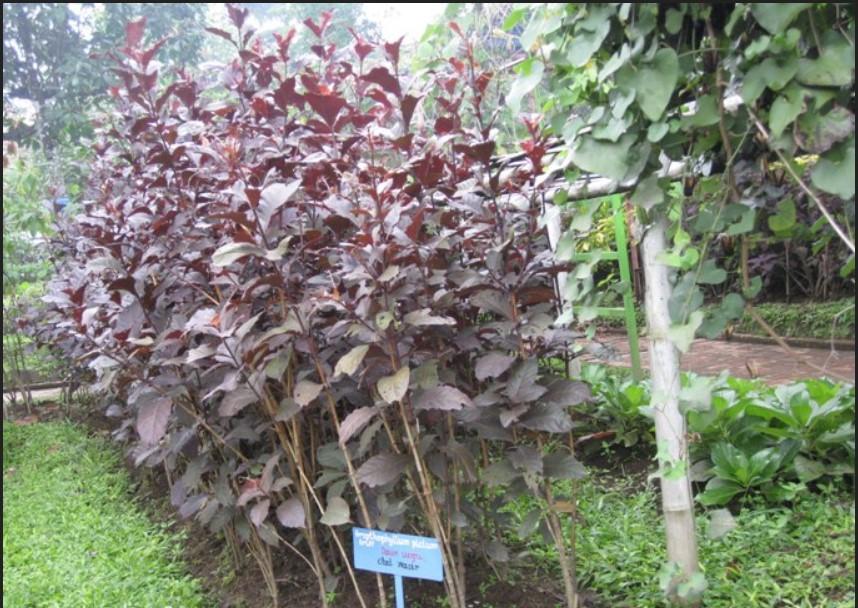 tanaman daun ungu di surabaya