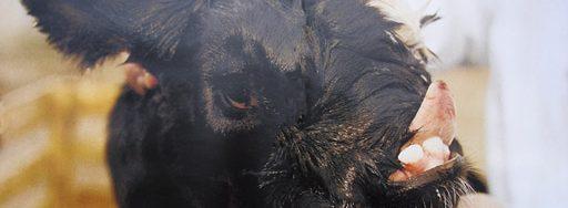 dampak radiasi nuklir chernobyl pada binatang