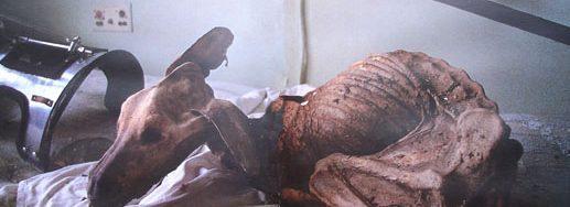 hewan yang terkena radiasi nuklir chernobyl
